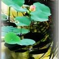 Two Lotus Buds 7-5-16