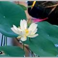 写真: American Lotus II 7-7-16
