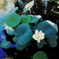 写真: Lotus by Thai Pavilion II 7-20-16