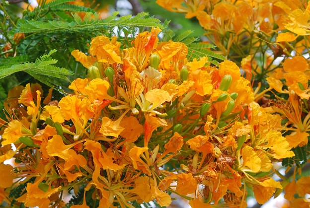 Yellow Royal Poinciana III 5-23-16