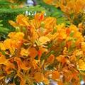 Yellow Royal Poinciana III 5-23-16