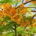 写真: Yellow Royal Poinciana IV 5-23-16