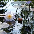 Dying Water Lily 6-12-16