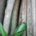 写真: Screw Pine legs 6-12-16