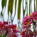 Apple Blossom Tree I 6-12-16