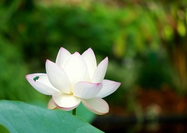 写真: Sacred Lotus I 8-4-16