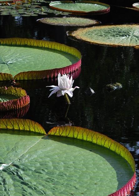 Amazon Waterlily 8-4-16