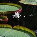 写真: Amazon Waterlily 8-4-16