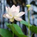 写真: Sacred Lotus II 8-4-16