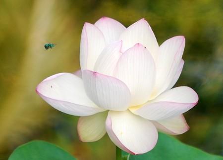 Sacred Lotus III 8-4-16