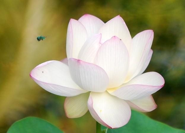 写真: Sacred Lotus III 8-4-16