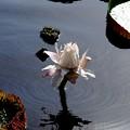 写真: Queen Victoria's Water Lily 8-4-16