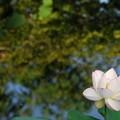 写真: Sacred Lotus V 8-4-16