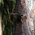 Fox Squirrel 7-23-16