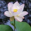 写真: Sacred Lotus VII 8-4-16