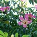 Photos: Silk Floss Tree 8-4-16