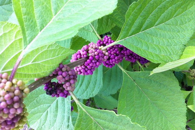 Beautyberry III 8-4-16