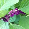 Photos: Beautyberry III 8-4-16