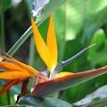 Bird of Paradise II 8-4-16
