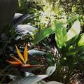 写真: Bird of Paradise III 8-4-16