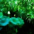 写真: Lotus Bud 8-21-16