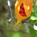 Photos: Momordica balsamina 10-1-16