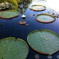 Giant Water Lilies 10-25-16
