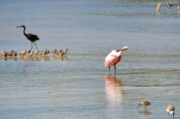Photos: Roseate Spoonbill IX 10-18-16