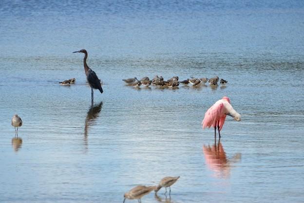 Reddish Egret and Roseate Spoonbill 10-18-16