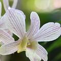Dendrobium Pearla Kouchi I 10-25-16