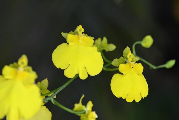 Oncidium Sweet Sugar 'Lemon Drop' 10-25-16
