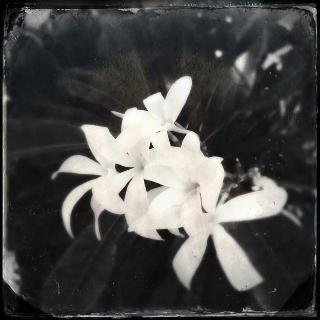 White Plumeria Flowers V  10-25-16
