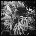 写真: Staghorn Fern on the Tree 11-15-16