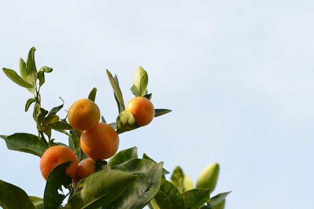 Citrus × microcarpa 11-29-16
