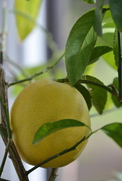 Meyer Lemon 12-24-16