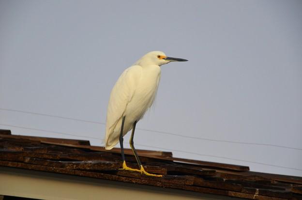 Photos: Snowy Egret 1 12-27-16