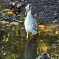 Yellow-Crowned Night Heron 12-30-16