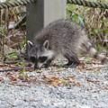 Photos: A Raccoon 12-30-16