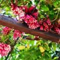 New Guinea Trumpet Vine 1-28-17