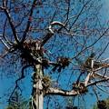 Red Silk Cotton Tree 1-28-17