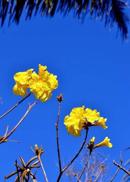 Golden Trumpet Tree 2-20-17