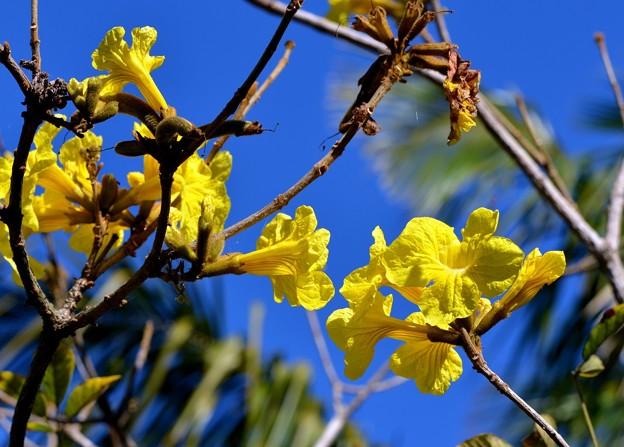 Ipê-Amarelo-Cascudo 2-20-17