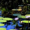Water Lilies 2-20-17