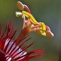 Scarlet passion Flower 2-20-17