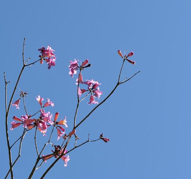 Photos: Rosy Trumpet Tree 2-20-17