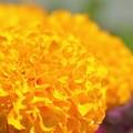 Mexican Marigold (AKA African Marigold) 3-18-17