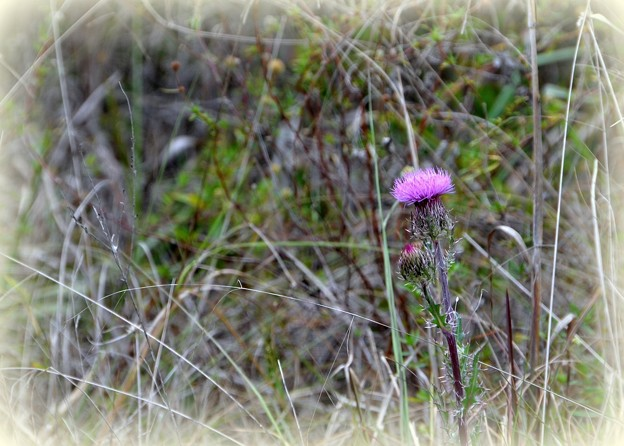 Purple Thistle 3-25-17