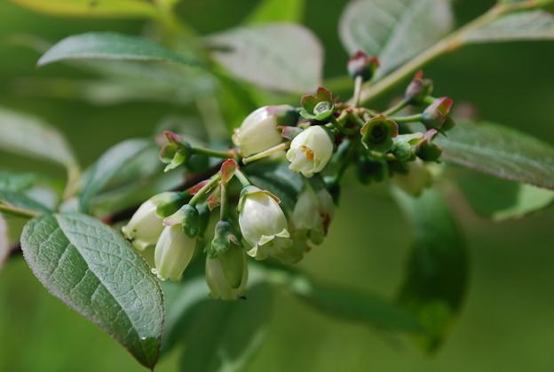 写真: Highbush Blueberry 5-20-10