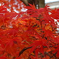 Japanese Maple in Red