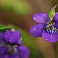 Photos: Common Blue Violets